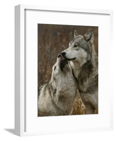 Gray Wolf Submits to the Alpha-Jim And Jamie Dutcher-Framed Art Print