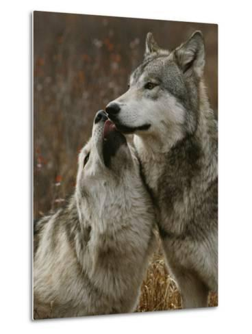 Gray Wolf Submits to the Alpha-Jim And Jamie Dutcher-Metal Print