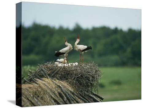 White Storks Displaying in Their Nest with Chicks-Klaus Nigge-Stretched Canvas Print