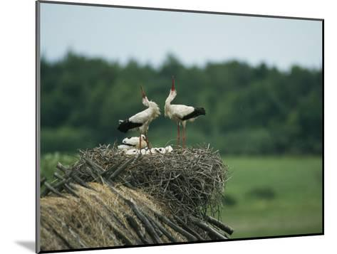White Storks Displaying in Their Nest with Chicks-Klaus Nigge-Mounted Photographic Print