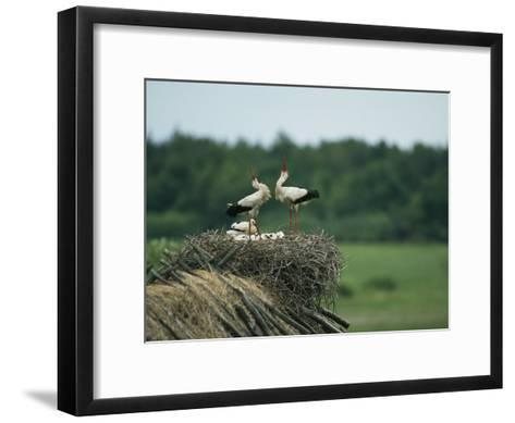White Storks Displaying in Their Nest with Chicks-Klaus Nigge-Framed Art Print