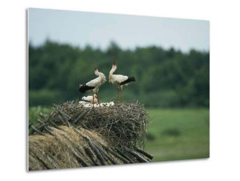 White Storks Displaying in Their Nest with Chicks-Klaus Nigge-Metal Print