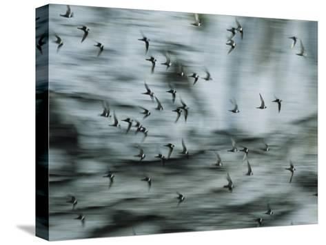 Swifts Fly Out of the Cave-Stephen Alvarez-Stretched Canvas Print
