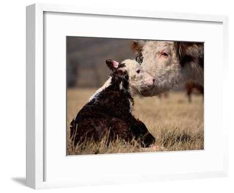 Hereford Cow with Calf-Sam Abell-Framed Art Print