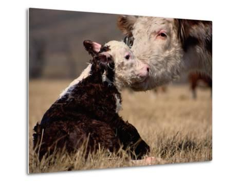 Hereford Cow with Calf-Sam Abell-Metal Print