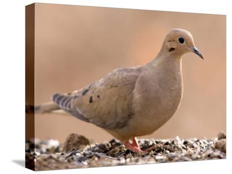 A Mourning Dove (Zenaida Macroura) in Lincoln, Nebraska-Joel Sartore-Stretched Canvas Print