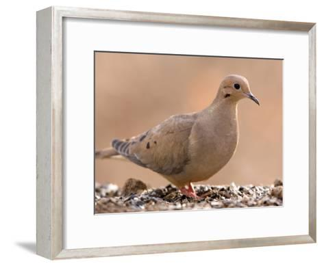 A Mourning Dove (Zenaida Macroura) in Lincoln, Nebraska-Joel Sartore-Framed Art Print