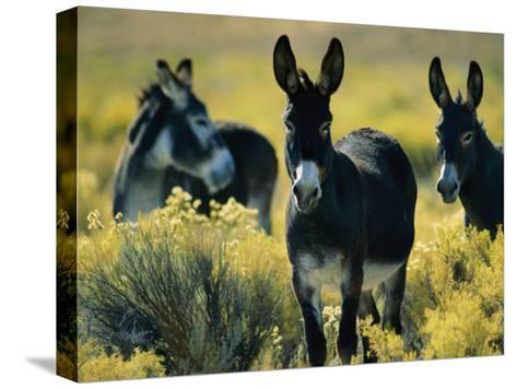 Wild Burros in Sagebrush-Joel Sartore-Stretched Canvas Print