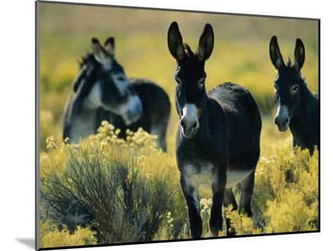 Wild Burros in Sagebrush-Joel Sartore-Mounted Photographic Print