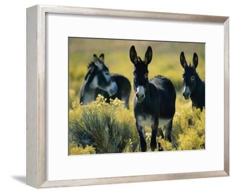 Wild Burros in Sagebrush-Joel Sartore-Framed Art Print
