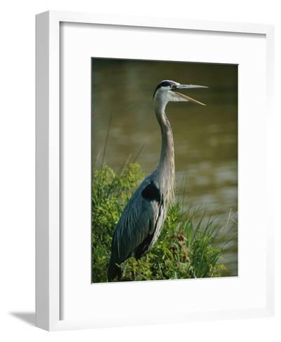 A Great Blue Heron Stands in a Marsh-George Grall-Framed Art Print
