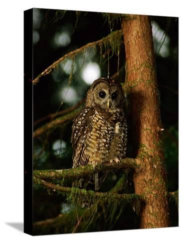 Female Northern Spotted Owl in an Old Growth Forest Area-James P^ Blair-Stretched Canvas Print