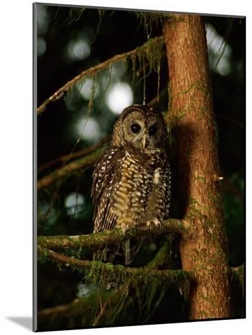Female Northern Spotted Owl in an Old Growth Forest Area-James P^ Blair-Mounted Photographic Print