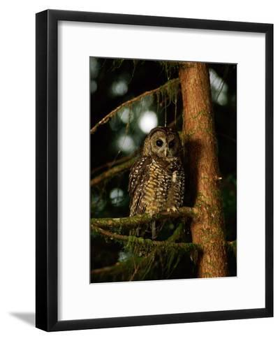 Female Northern Spotted Owl in an Old Growth Forest Area-James P^ Blair-Framed Art Print