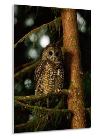 Female Northern Spotted Owl in an Old Growth Forest Area-James P^ Blair-Metal Print