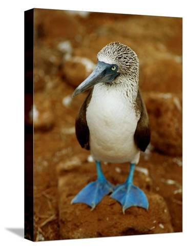 Blue-Footed Booby in a Rookery-James P^ Blair-Stretched Canvas Print