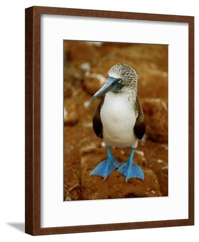 Blue-Footed Booby in a Rookery-James P^ Blair-Framed Art Print