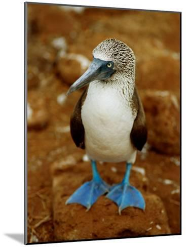 Blue-Footed Booby in a Rookery-James P^ Blair-Mounted Photographic Print