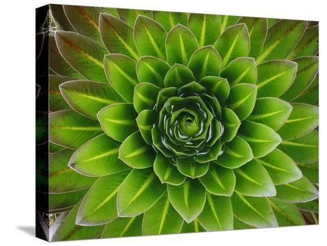 A Giant Lobelia Plant-George F^ Mobley-Stretched Canvas Print