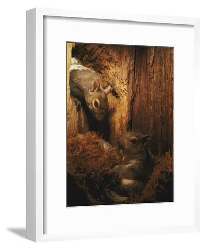 A Baby Eastern Gray Squirrel in its Nest-Chris Johns-Framed Art Print