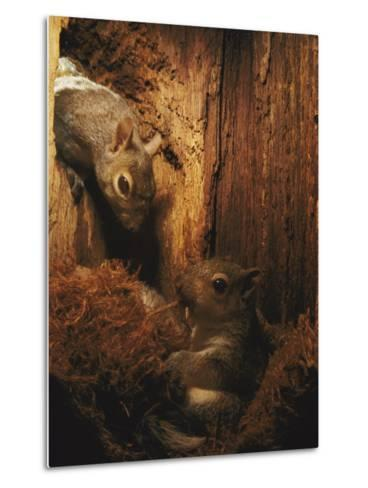 A Baby Eastern Gray Squirrel in its Nest-Chris Johns-Metal Print