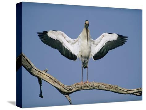 A Wood Stork Spreads its Wings-Joel Sartore-Stretched Canvas Print