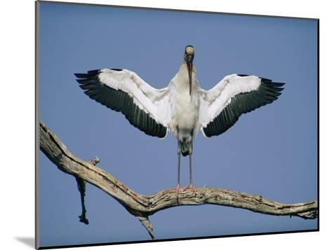 A Wood Stork Spreads its Wings-Joel Sartore-Mounted Photographic Print
