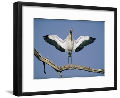 A Wood Stork Spreads its Wings-Joel Sartore-Framed Art Print