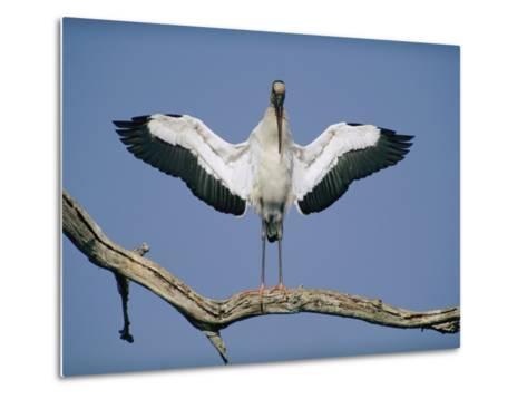 A Wood Stork Spreads its Wings-Joel Sartore-Metal Print
