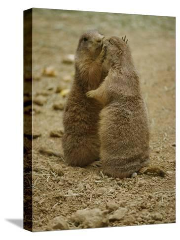 National Zoo Prairie Dogs Show Affection by Kissing-Brian Gordon Green-Stretched Canvas Print