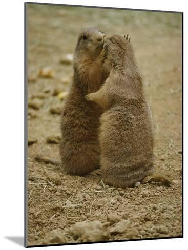 National Zoo Prairie Dogs Show Affection by Kissing-Brian Gordon Green-Mounted Photographic Print