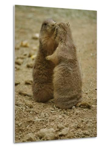 National Zoo Prairie Dogs Show Affection by Kissing-Brian Gordon Green-Metal Print