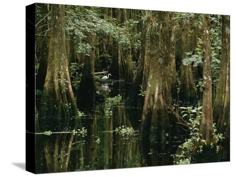 A Great Egret or Common Egret Stalks Fish in a Cypress Tree Swamp-Farrell Grehan-Stretched Canvas Print