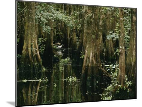 A Great Egret or Common Egret Stalks Fish in a Cypress Tree Swamp-Farrell Grehan-Mounted Photographic Print
