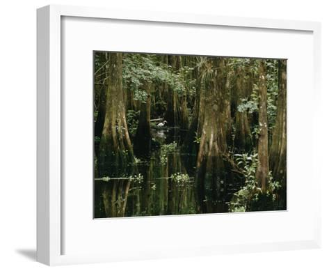 A Great Egret or Common Egret Stalks Fish in a Cypress Tree Swamp-Farrell Grehan-Framed Art Print