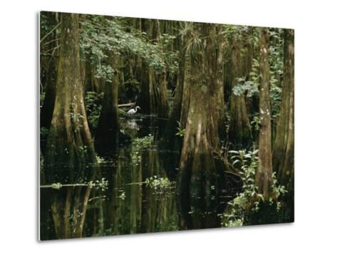 A Great Egret or Common Egret Stalks Fish in a Cypress Tree Swamp-Farrell Grehan-Metal Print