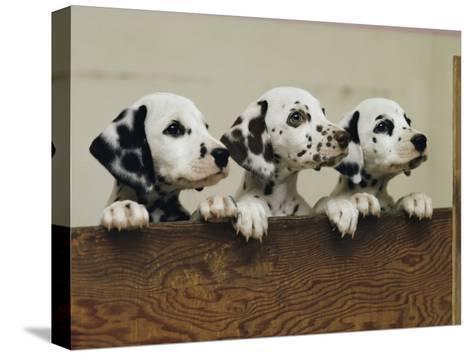 Three Inquisitive Dalmatian Puppies Peeking over a Board-Joseph H^ Bailey-Stretched Canvas Print
