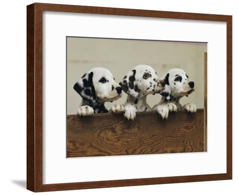 Three Inquisitive Dalmatian Puppies Peeking over a Board-Joseph H^ Bailey-Framed Art Print
