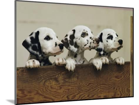 Three Inquisitive Dalmatian Puppies Peeking over a Board-Joseph H^ Bailey-Mounted Photographic Print