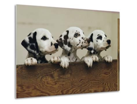 Three Inquisitive Dalmatian Puppies Peeking over a Board-Joseph H^ Bailey-Metal Print