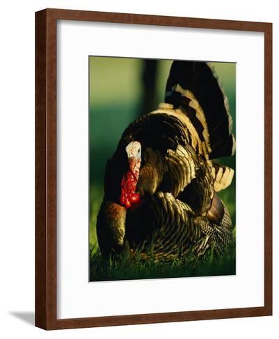 Close View of a Wild Turkey-Joel Sartore-Framed Art Print