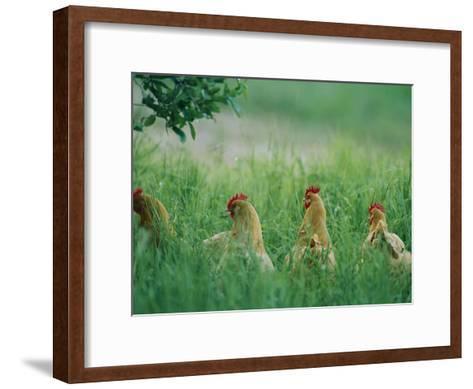 Four Buff Orpington Hens in Tall Grass-Joel Sartore-Framed Art Print