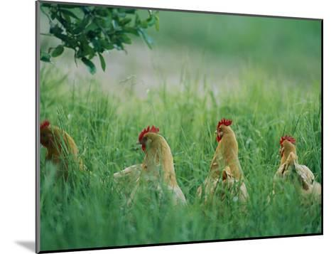 Four Buff Orpington Hens in Tall Grass-Joel Sartore-Mounted Photographic Print