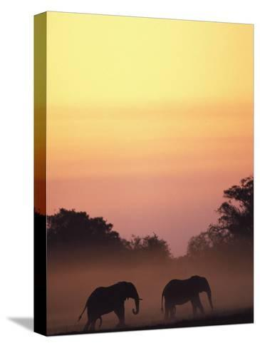 African Elephant Taking a Dust Bath at Sunset-Beverly Joubert-Stretched Canvas Print