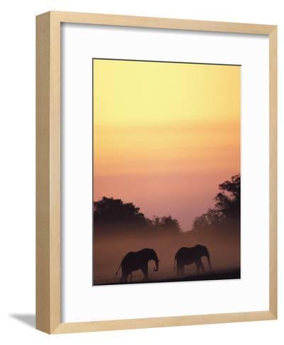 African Elephant Taking a Dust Bath at Sunset-Beverly Joubert-Framed Art Print