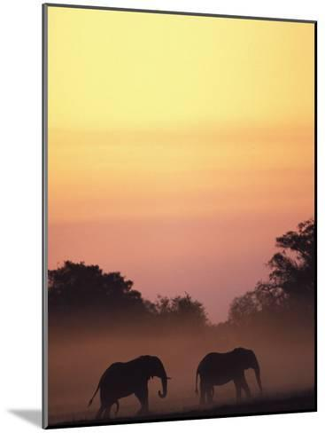 African Elephant Taking a Dust Bath at Sunset-Beverly Joubert-Mounted Photographic Print