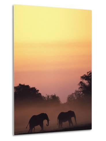 African Elephant Taking a Dust Bath at Sunset-Beverly Joubert-Metal Print
