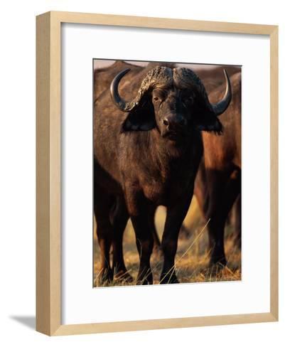A Portrait of a Cape Buffalo-Beverly Joubert-Framed Art Print