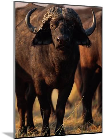 A Portrait of a Cape Buffalo-Beverly Joubert-Mounted Photographic Print