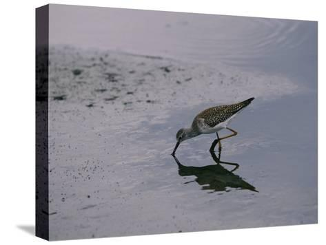 A Sandpiper Skims the Water for a Meal in the Meadowlands-Melissa Farlow-Stretched Canvas Print